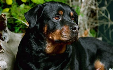 rottweiler with beautiful rottweiler rottweiler wallpaper 13378967 fanpop