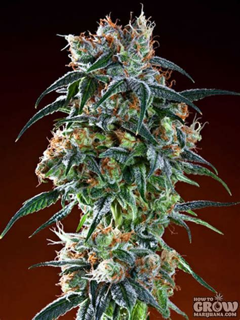 grand daddy purp bay  seeds