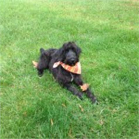 schnoodle puppies for sale in nc schnoodle breeders puppies for sale in raleigh nc schnoodles