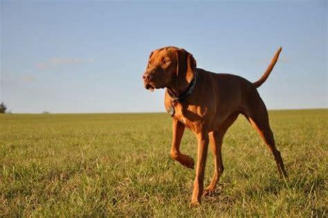 Setter Dog Short Hair | top 10 dog breeds for children yummypets