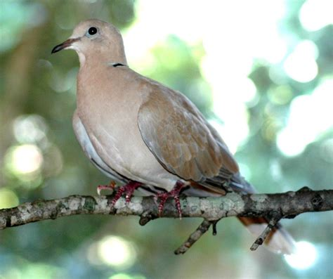 best 28 ring necked dove sound cape turtle dove bird