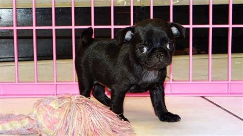 pug puppies atlanta huggable black pug puppies for sale in at atlanta columbus johns creek
