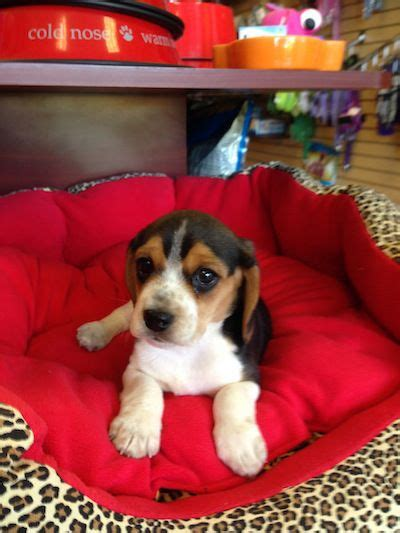 beagle puppies florida beagle puppies boca raton breeds picture