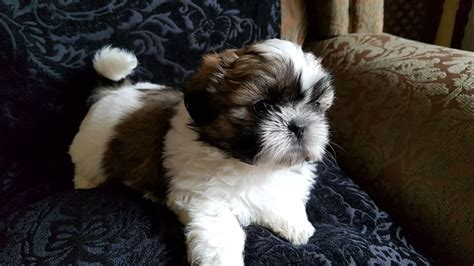shih tzu hull pedigree shih tzu puppies hull east of pets4homes