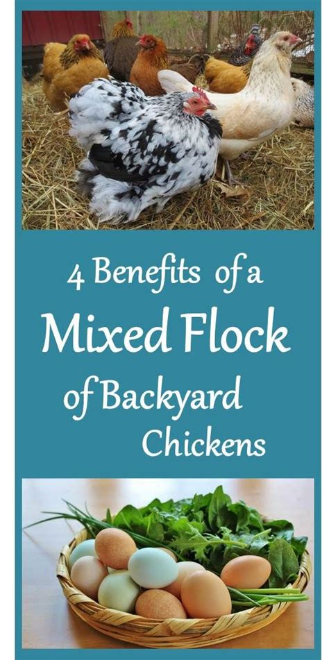 benefits of backyard chickens 25 best ideas about laying hens on pinterest chicken