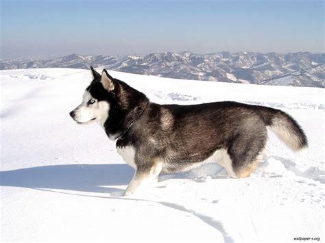 libro the guard dog hunderassen de siberian husky