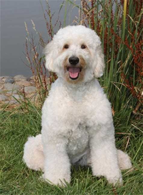 goldendoodle puppies for sale in california goldendoodle breeders puppies for sale adoption in
