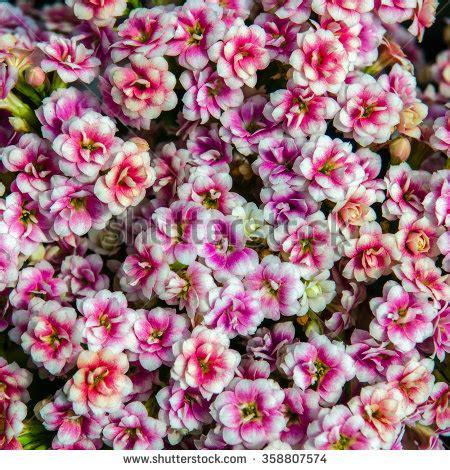 kalanchoe blossfeldiana stock photos royalty free images