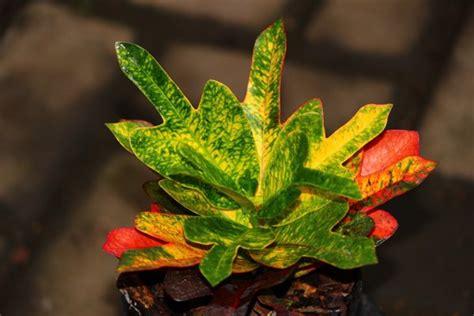 tanaman hias  contoh tanaman hias daun  populer