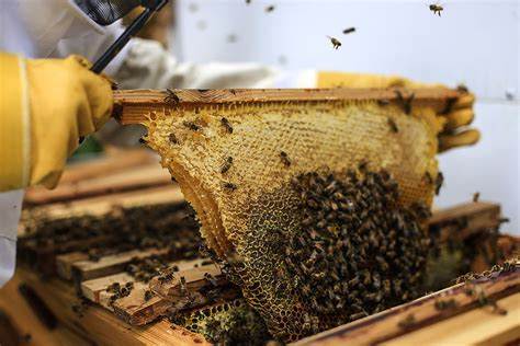 how to extract honey from a top bar hive top bar hives learn about top bar hives