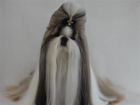 how to cut a shih tzu hair the world s catalog of ideas