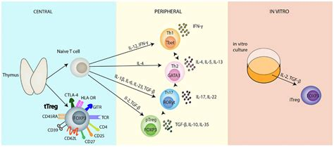 figure 1 regulatory t cell frontiers regulatory t cells serious contenders in the