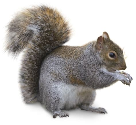 squirrel images types of squirrels squirrel facts for dk find out