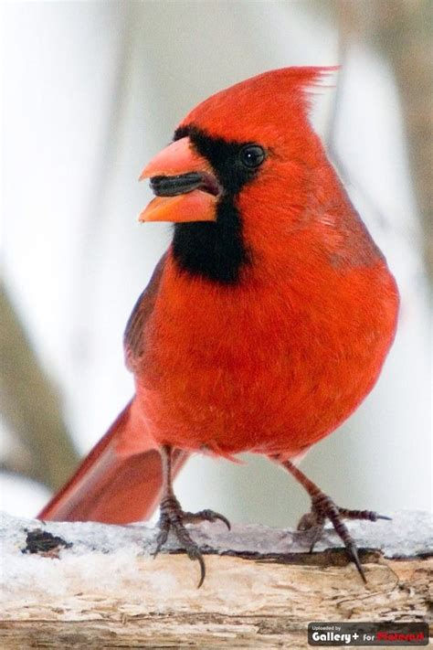 common birds of ohio ohio heart of it all pinterest