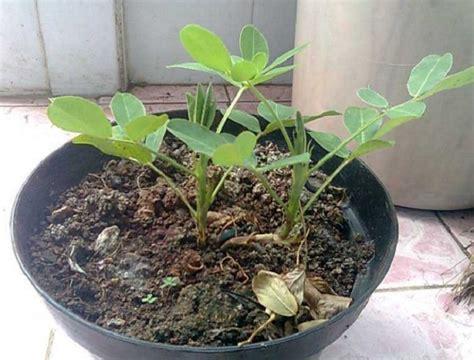 Benih Kacang Panjang Berkualitas cara menanam kacang tanah di polybag atau pot bibitbunga