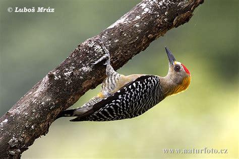 hoffmann 180 s woodpecker pictures hoffmann 180 s woodpecker