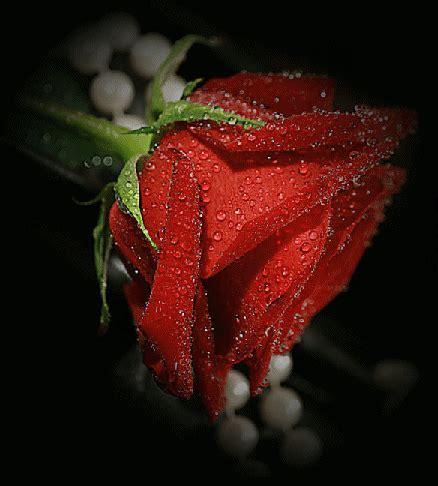 imagenes rosas rojas gratis fondo de flores animadas rojas