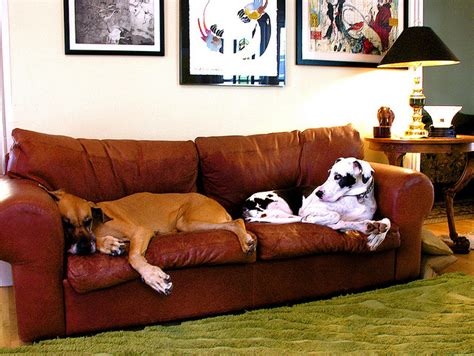 great dane on couch our gentle giants 187 training