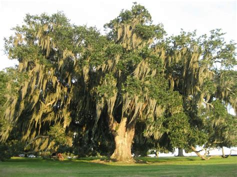 wide tree 26 best beautiful grand live oaks hug one today