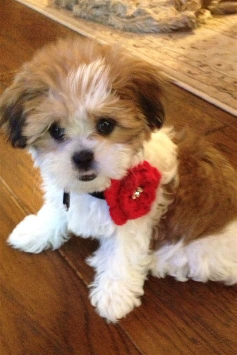 half yorkie half shih tzu puppies get 20 shih tzu maltese mix ideas on without signing up maltese shih tzu