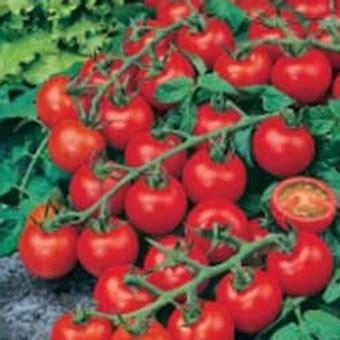 Biji Benih Tanaman Sayuran Tomat benih tomato cherry