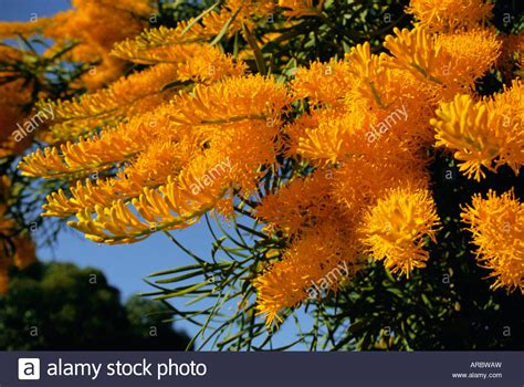 christmas tree nuytsia floribunda native flora western
