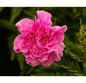Dianthus Caryophyllus Organza  The Perfect Double Pink Carnation