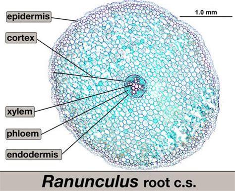 ranunculus stem cross section bio lab plant anatomy at university of alabama