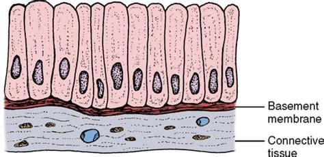 basement membrane of epithelial tissue 17 basic tissues pocket dentistry