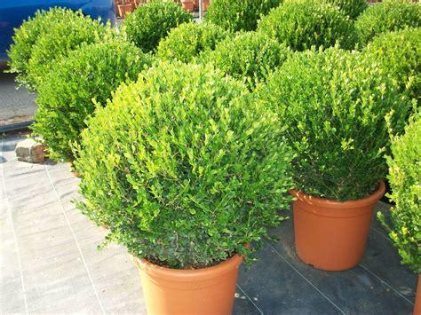 piante da siepe in vaso sempreverdi buxus microphylla faulkner bussolo o bosso arbusti