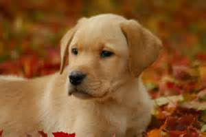 Labrador puppies for sale yellow labrador puppies for sale in
