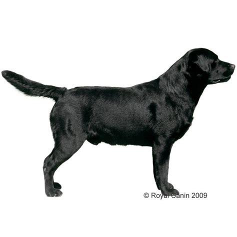 royal canin labrador puppy royal canin labrador retriever free p p 163 29 at zooplus