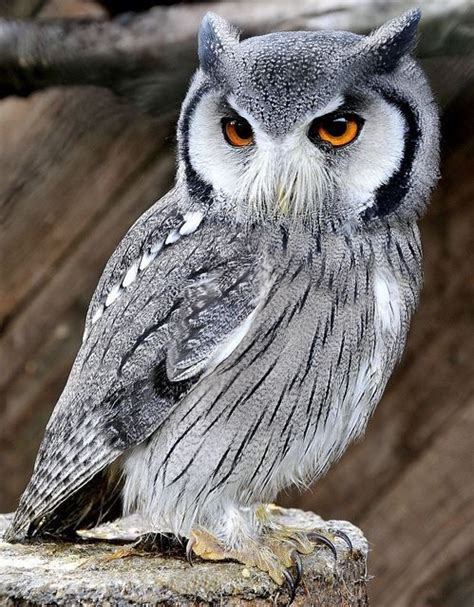 white faced scops owl birds fowl raptors pinterest