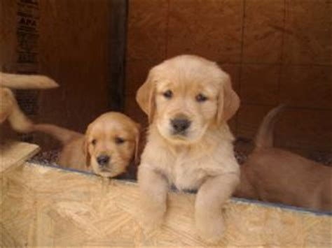 golden retrievers alabama golden retriever puppies in alabama