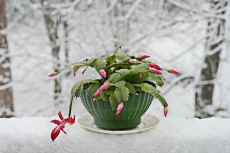 growing  caring   christmas cactus doityourselfcom