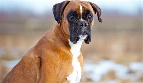 boxers for c mon let s play what are the best toys for boxers