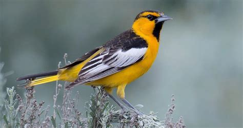 bullock s oriole life history all about birds cornell
