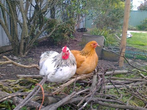 Backyard Chicken Breeds Best Backyard Chicken Breeds Backyard Chickens 5 Best Breeds For Egg Layers