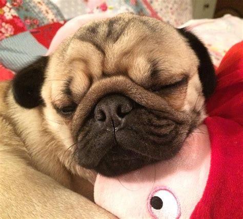 doug the pug teddy 17 best ideas about peppa pug on peppa pig peppa pig birthday ideas and