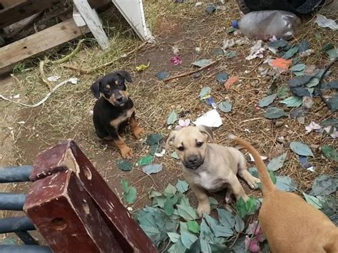 craigslist puppies free craigslist post urgent pit puppies free free puppys pit mixed bakersfield ca