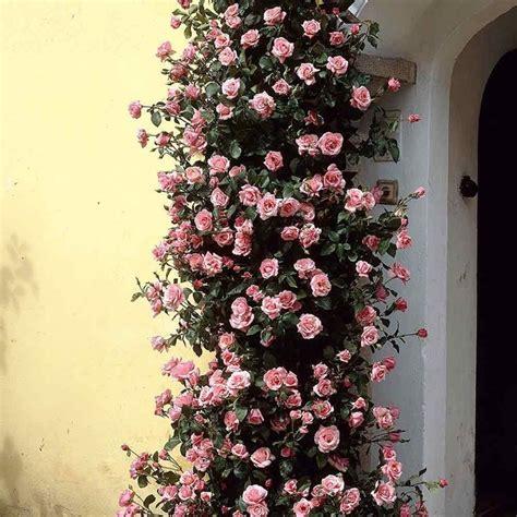 Come Coltivare Le Roselline In Vaso by Ricanti Ricanti Coltivazione Ricanti