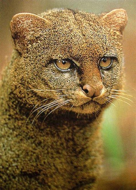 imagenes jaguarundi photos of wild cat jaguarundi barnorama