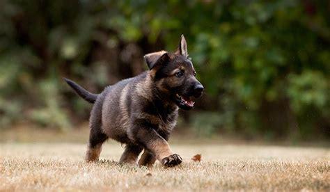 k9 puppy vom banach k9 puppy health protocol