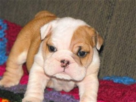 free puppies augusta ga pets augusta ga free classified ads