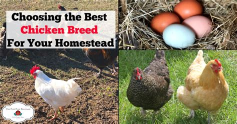 Backyard Chickens Breeds Choosing A Chicken Breed For Your Homestead The Flip Flop Barnyard