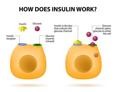 insulin and glucose diagram insulin vs glucagon diabetes library
