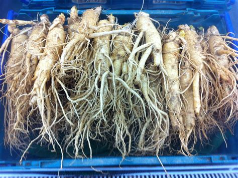 Ginseng Korea Ginseng korean ginseng properties and processing on artimondo