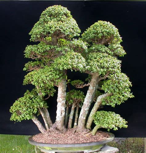 tanaman sukulen portulacaria afra bonsai succulents swindon district bonsai