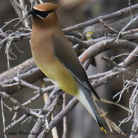 cedar waxwing north american birds birds of north america