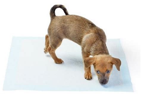 how should it take to potty a puppy how to potty a puppy the complete guide new owners